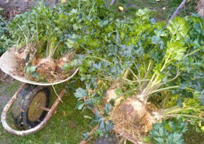 Zeleninová úroda